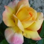 fleur-de-corail