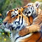 le-tigre-a-la-rose-noir