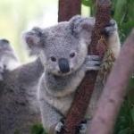 koalapine
