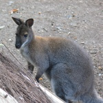 kangouala