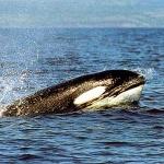ucigas-balena