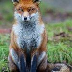 foxyfight