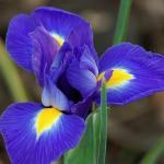 first-iris