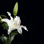 fleurdelys88