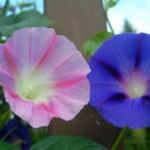 bleu-et-rose