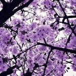 purpleblosssom