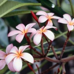 flowerjasmin