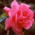 roses_des_pres