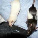 rat-moureuse