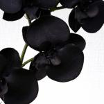 orchidee-noire98302