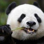 m-a-panda