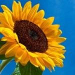 sunflower_flower