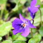 violetteinsondable