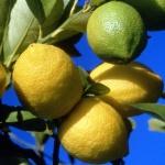 limonelle
