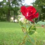 une-rose-rouge