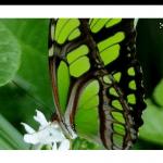 papillon-vert2
