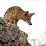 sablecoyote