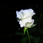 rose blan