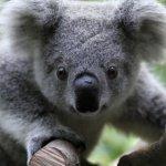 koala16-08