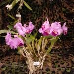 orchidee-des-iles0