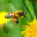 abeille-jaune