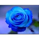 bouton_de_rose