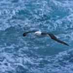 albatrosdimare