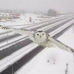 harfang-des-neiges