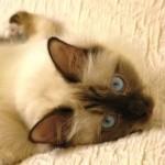 gros-chat-chocolat
