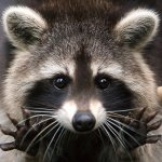 coco-raccoon