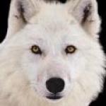 loup_blanc14