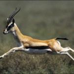 gazelle633
