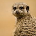 suricate-18