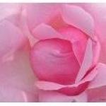 rose-destinee