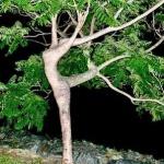 cerise-mimosa