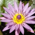 fleurdelotus84