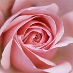 petite-rose0278