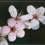 audriana