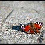 papillounette13