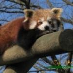 petiit-panda