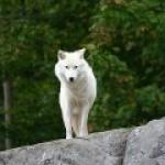 00le-loup-blanc00