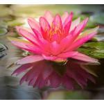 lotus_sucre