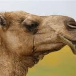 patience-du-chameau
