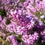fleurdebruyere