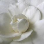 gardeniaa