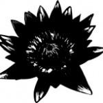 lotus-noire
