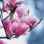 magnolia90