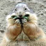 petite_marmotte