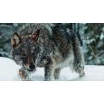 black-wolf0