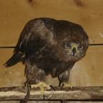 aigle-noir74